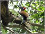 Title: Greater Flameback (male)Canon PowerShot SX 40 HS