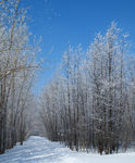 Title: Fog forming and depositing ice on tree