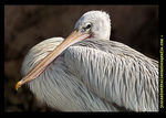 Title: The pelican rests and dry