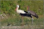 Title: Yellow-billed stork