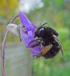 Title: Hairy Footed flower bee
