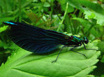 Title: Beautiful Demoiselle male