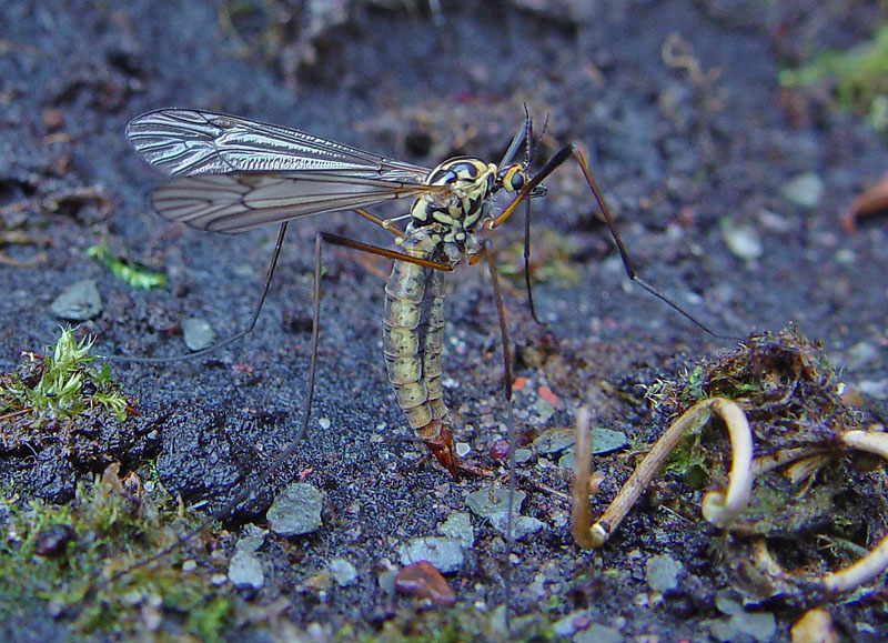 Female Black and Yellow Crane fly