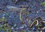 Title: Female Black and Yellow Crane fly