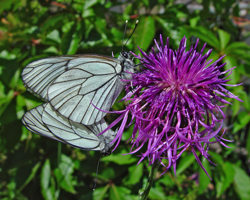 Black Veined Whites