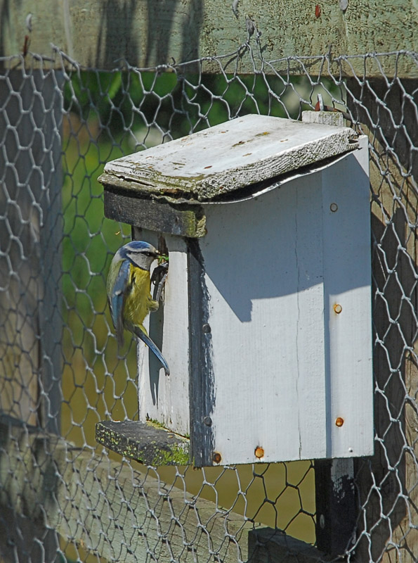Male Bluetit at Nest Box