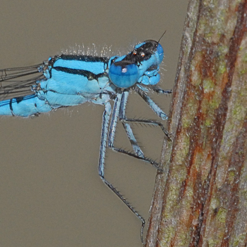 Common Blue Damselfly  Head Detail