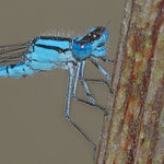 Title: Common Blue Damselfly  Head Detail