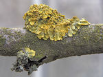 Title: Common Yellow Lichen