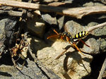 Title: Unknown Digger Wasp