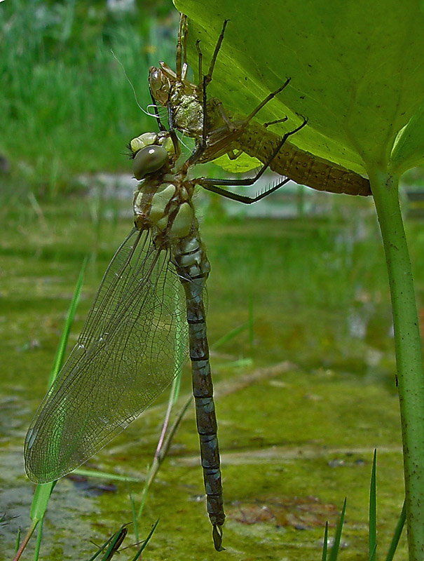 dragonfly_emerging_from_exuvia