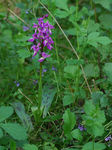 Title: Early Purple Orchid