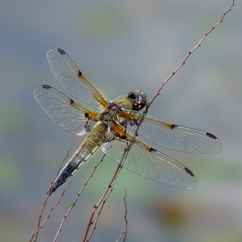 four-spot-chaser-male