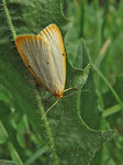 Title: Four-Dotted Footman