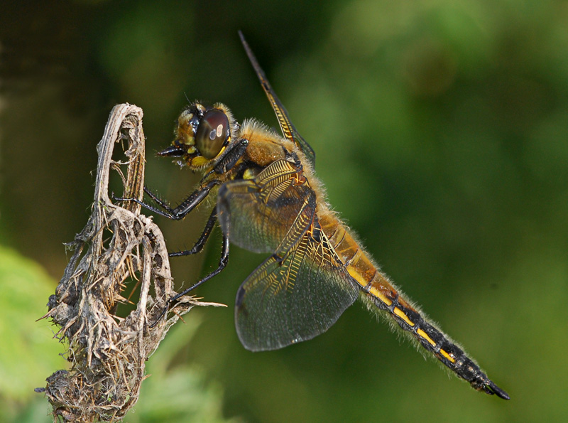 Four-spotted Chaser (male)