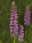 Title: Fragrant orchid 2