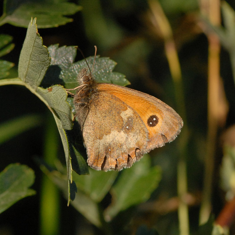 Gatekeeper in evening light