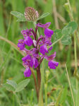 Title: Green Winged Orchid  and Red Clover
