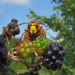 Title: Hornet on Blackberry