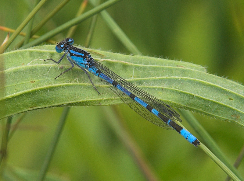 Common Blue Damselfly male