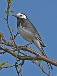 Title: Pied Wagtail