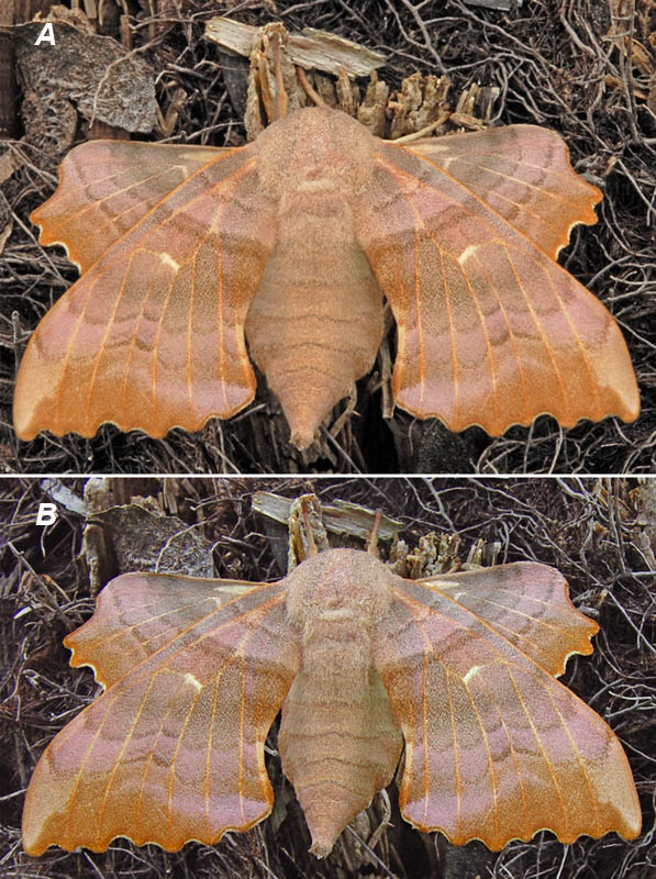 Popular Hawkmoth Compare and Contrast