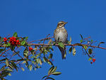Title: Redwing a winter Visitor