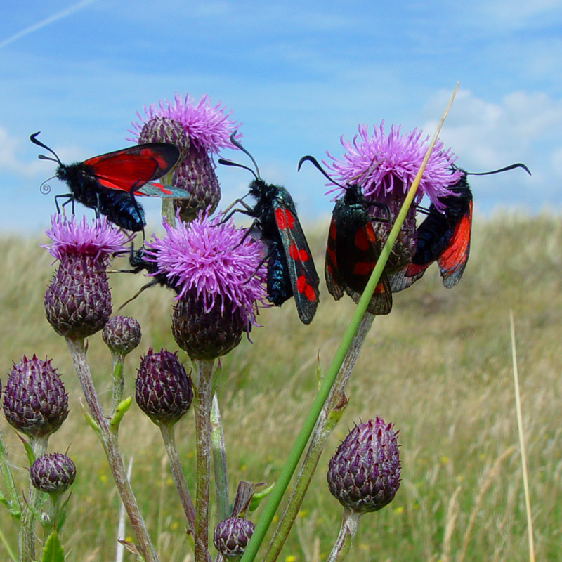 six-spot-burnet-moths-feeding
