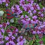 Title: 6 spot burnet moths