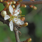 Title: Blackthorn in Flower