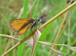 Title: Essex Skipper (Female)