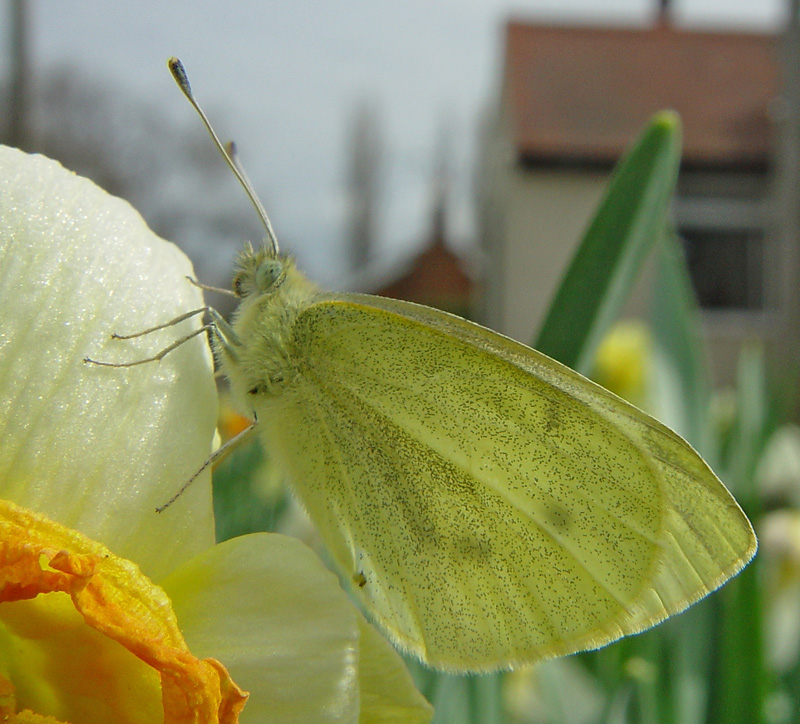 Early Small White Butterfly