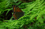 Title: Late Small Copper