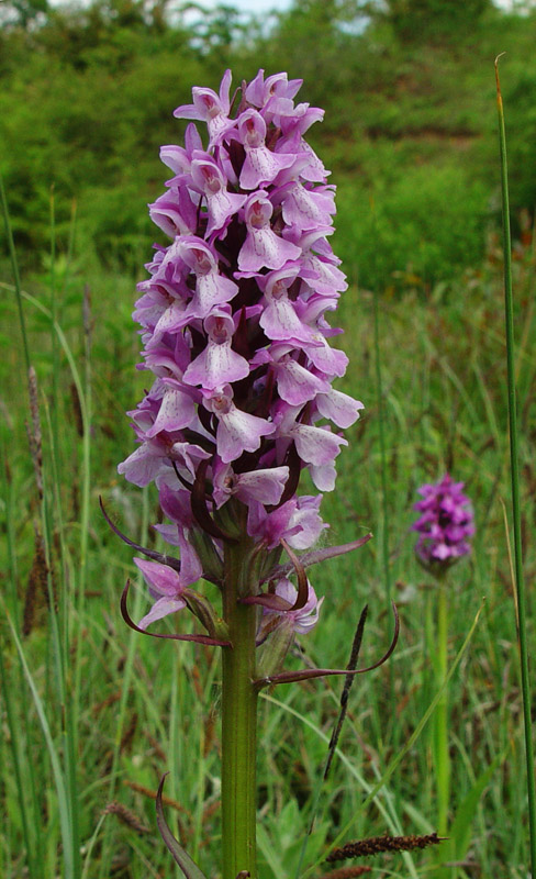 Southern Marsh Orchid ? (pale form)