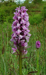 Title: Southern Marsh Orchid ? (pale form)