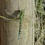 Title: southern-hawker-male