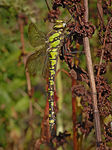 Title: Female Southern hawker Dragonfly