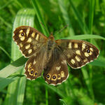 Title: Speckled Wood Female