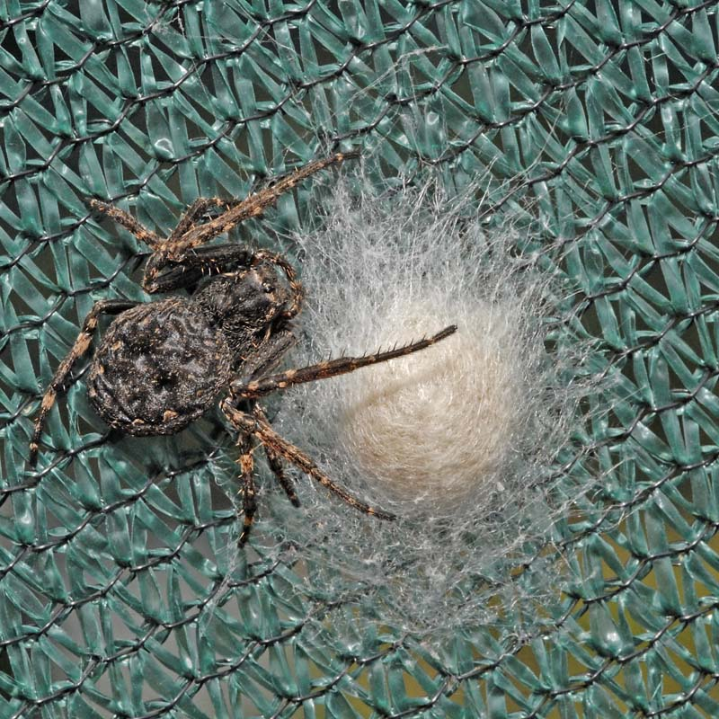 Walnut Orb Weaver female and Egg Sack