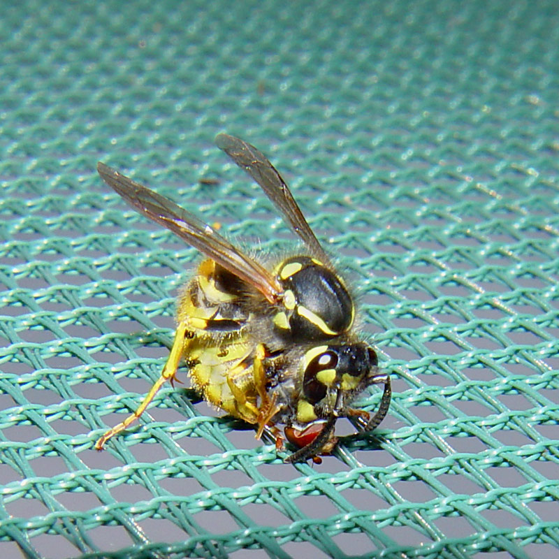 wasp-and-hoverfly