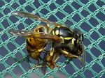 Title: wasp-and-prey