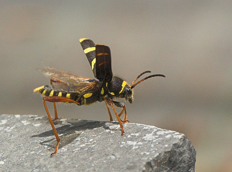 Wasp Beetle Taking Off