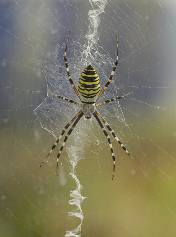 Wasp Spider 1st in Nottinghamshire