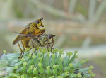 Title: Yellow Dungflies ? mating