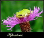 Title: Green tree frog.
