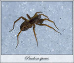 Title: Pardosa on ice.