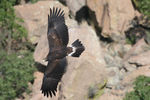 Title: golden eagle juvenile