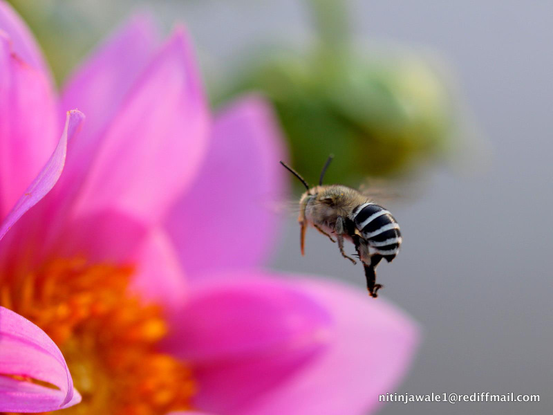 FORAGING BEE 2