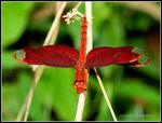 Title: FULVOUS FOREST SKIMMER FRONT VIEW