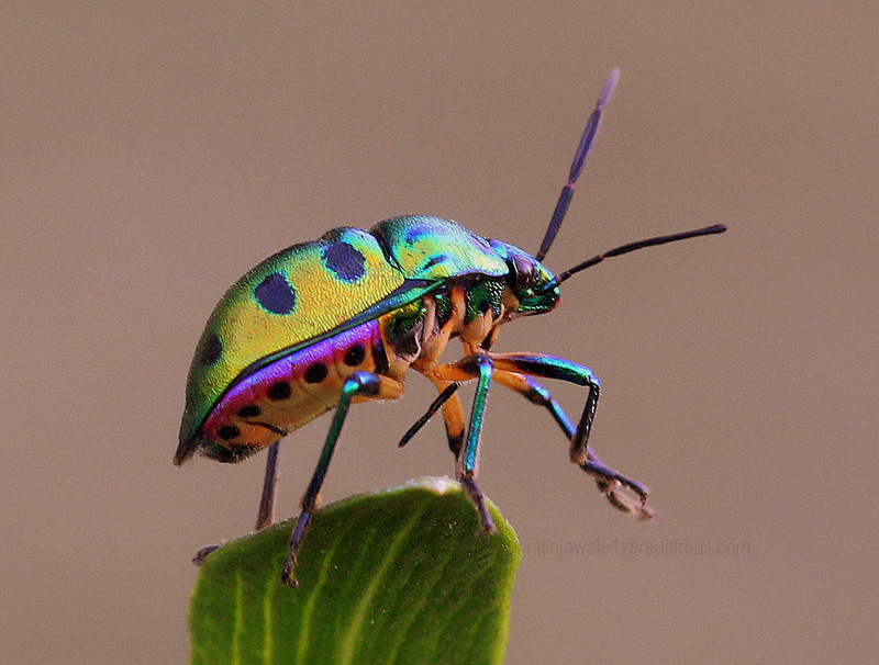Jewel Bug 2